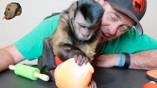 Capuchin Monkey & GIANT 1 POUND Putty!