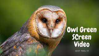 Owl Green Screen Clip
