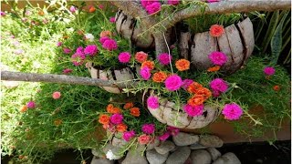 How to Grow Moss Rose / Portulaca Grandiflora from Cuttings on Coconut Husk  (Hanging Outdoor Decor)