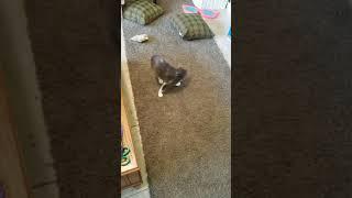 Waltzing Kitty Cerebellar Hypoplasia, blind and deaf