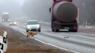 Собака бросилась под авто, спасая своего щенка
