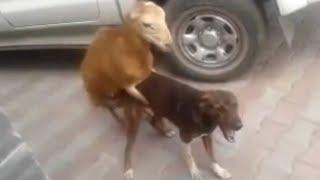شاهد تزاوج خروف مع كلب