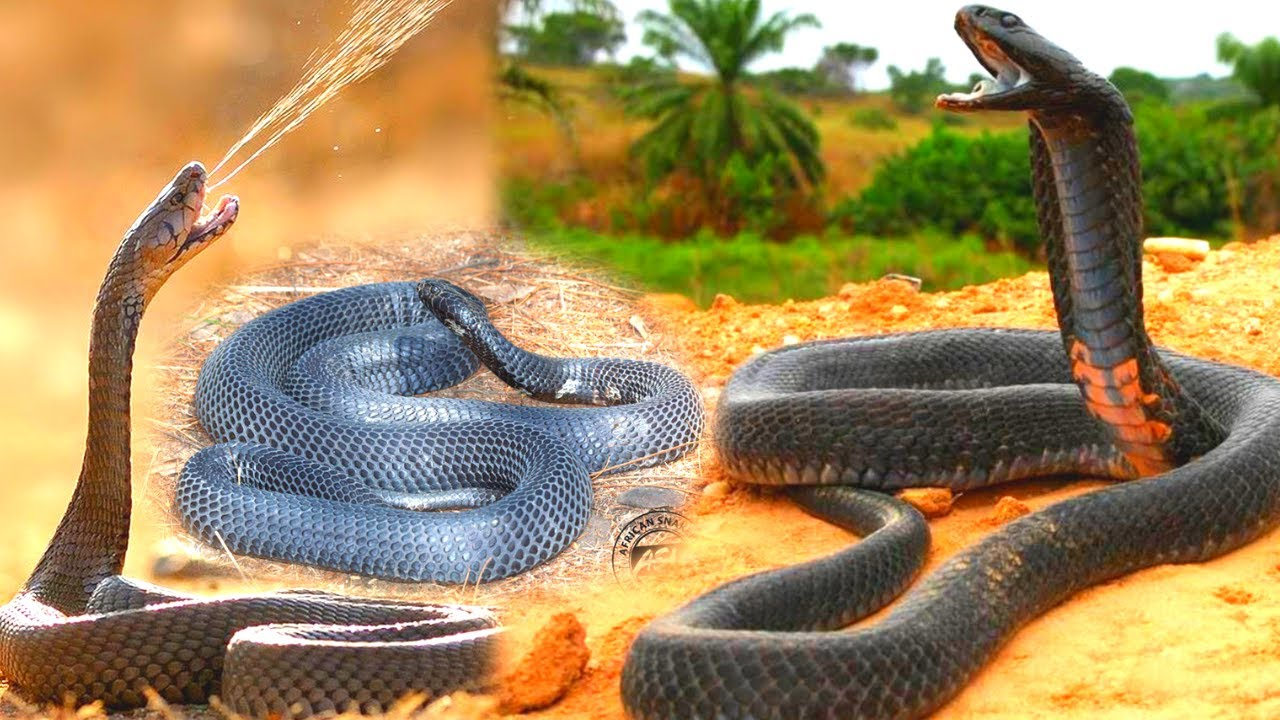 Black Spitting Cobra Tries Hard to Break The Glass, Most Venomous Snakes In The World