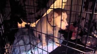 Orlando Dog Training. Training Roosevelt To Stay