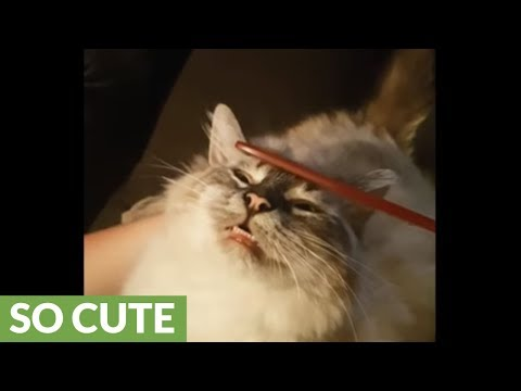 Bet You Haven't Seen A Cat Enjoy A Pampering Like This Before!