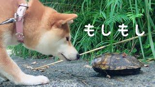 亀に興味はあるもののへっぴり腰すぎた柴犬 Dog Meets Turtle