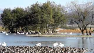 白鳥で有名な瓢湖です。だいぶ寒くなりましたが白鳥さんの団体はまだご...