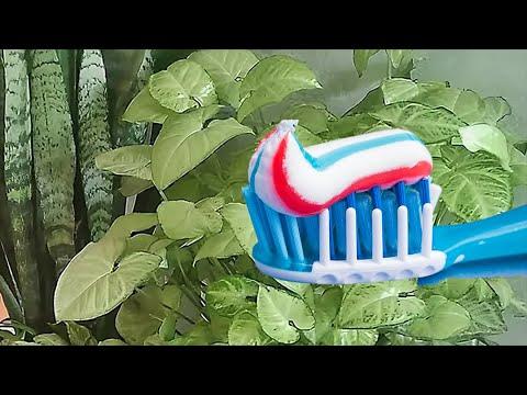Зубной порошок и зубная паста не для зубов, а для растений!!!