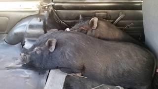 Свиньи убежали на пол км  от дома