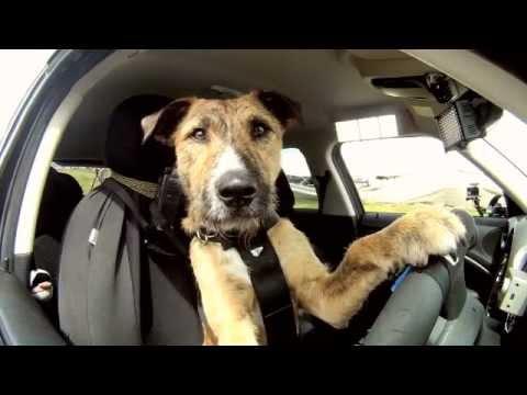 Le chien qui conduit une Mini