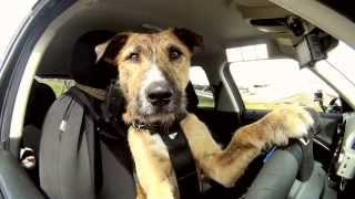 Meet Porter. The World's First Driving Dog. thumbnail