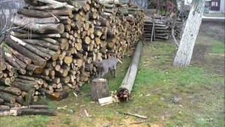 Кети 4м - Вајмарски птичар (weimaraner)