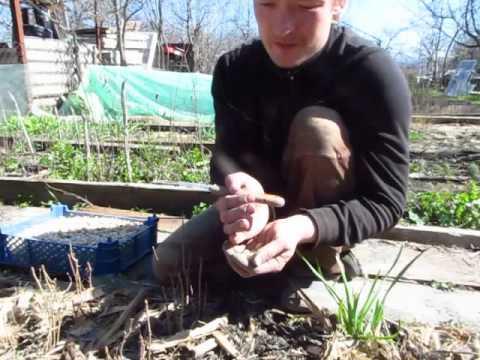 Купить саженцы гинкго билоба. Низкие цены на сельское хозяйство. Заказать саженцы гинкго билоба сейчас. Доставка семян и посадочный материал.