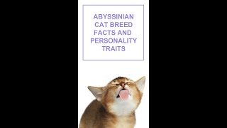 Abyssinian Cat Breed Facts and Personality Traits #Shorts