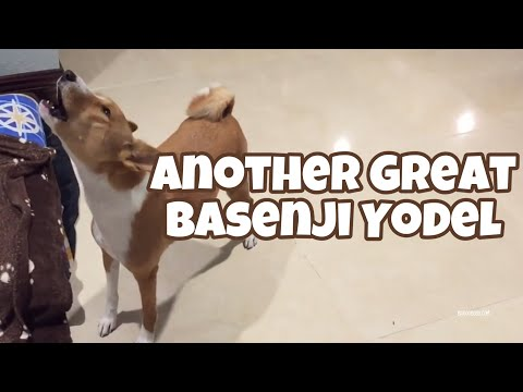 Another Great Basenji Yodel