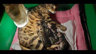 Mèo Bengal thuần chủng