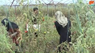 بالفيديو.. نازحون من حلب ينقذون موسم الطماطم في طرطوس