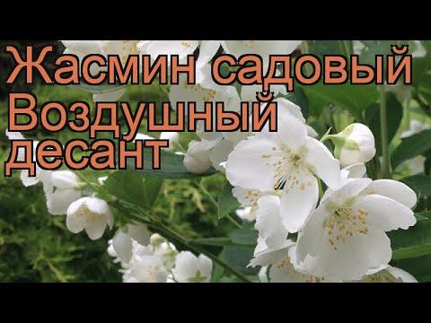 Жасмин садовый Воздушный десант 🌿 обзор: как сажать, саженцы жасмина Воздушный десант