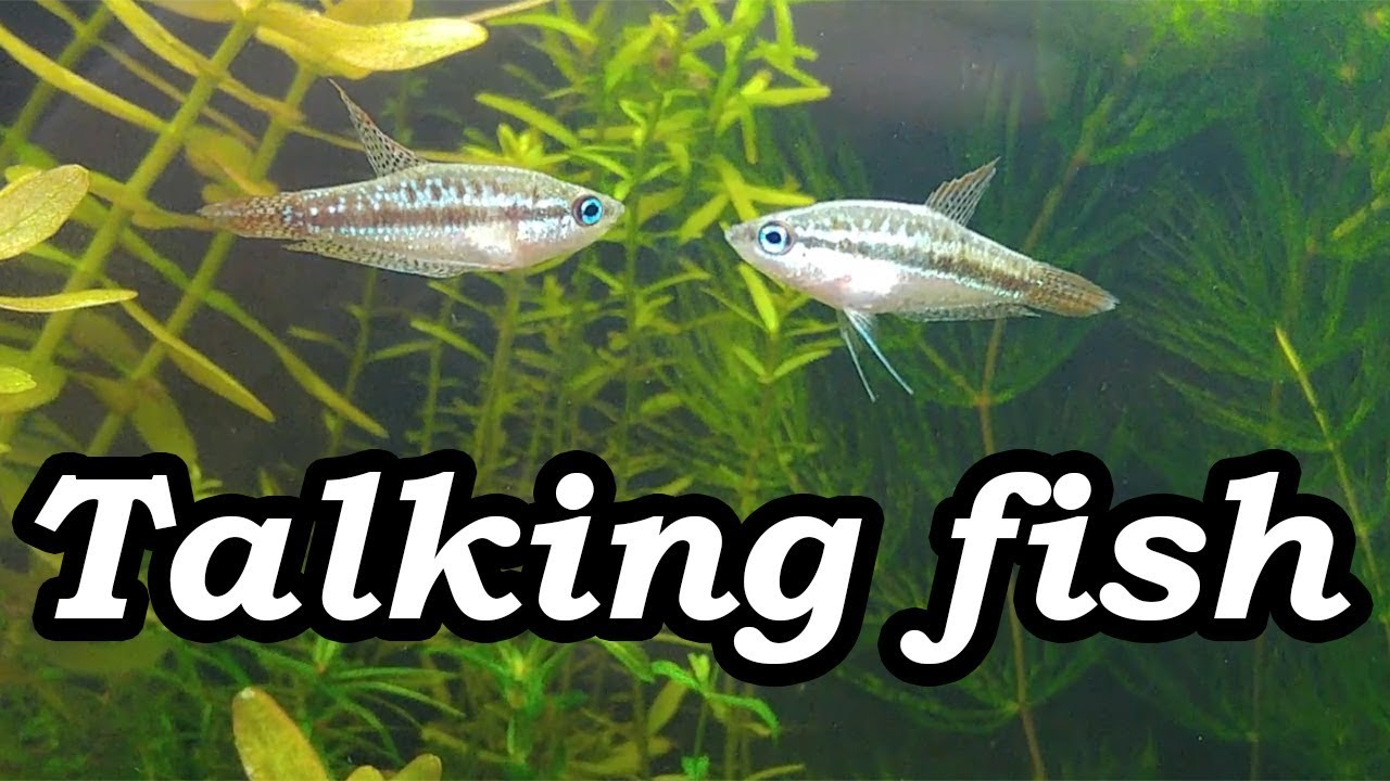 Real Talking Fish Sparkling Pygmy Gourami Croaking No Filter No Co2 No Ferts 5 Gallon Nano Tank Youtube