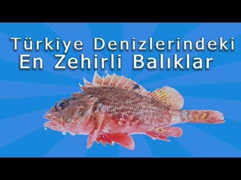 Türkiye Denizlerindeki En Zehirli Balıklar