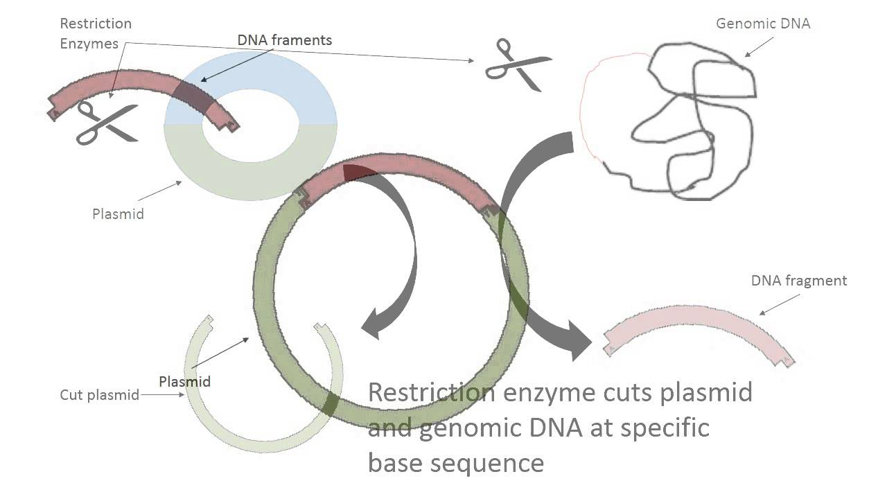 recombinant dna pkan and pamp Nucleotide sequence of pamp plasmid  pamp dna sequence, 4539 bp nucleotide sequence of pkan plasmid sequence of pkan.