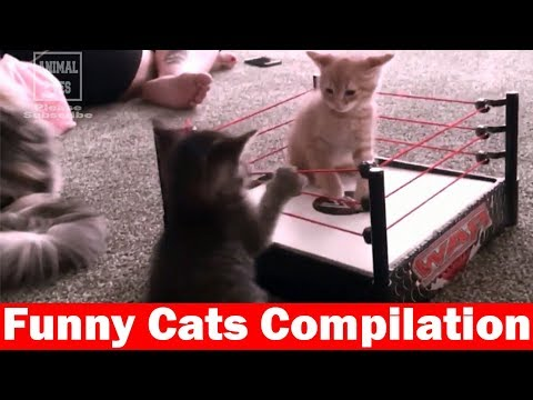 Best Funny Cats Compilation Most See Funny Cat Videos Try Not To Laugh