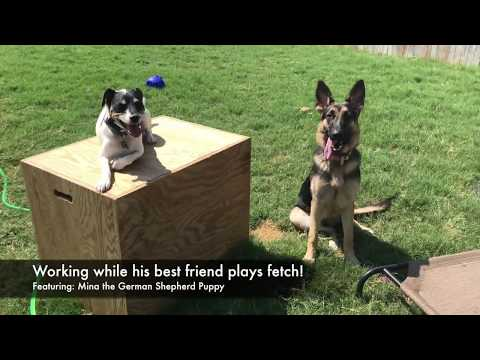 """Jack Russell Terrier """"Darby"""" 
