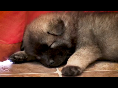 Eurasier Puppies - 5 Weeks Old