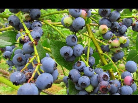 Supporting Local Farms: Blueberry Picking With Kids