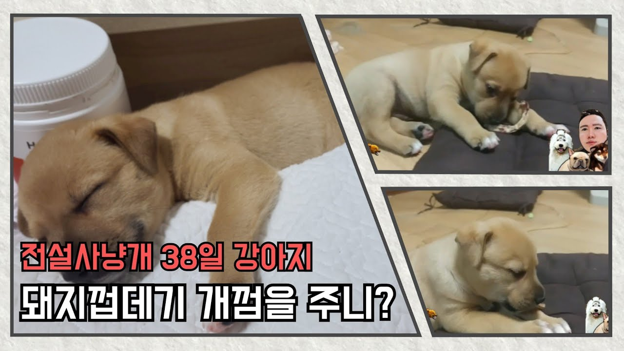 #4 생후 38일 강아지 돼지껍데기 먹방~ 단성개 단군이..