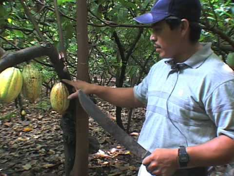 Sustainable Cacao in Southern Belize