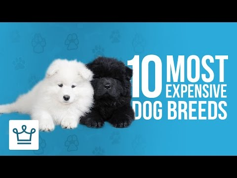 10 Most Expensive Dog Breeds In The World