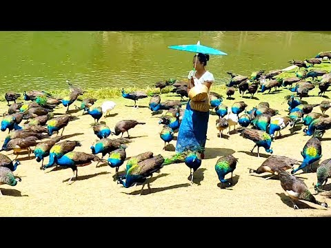 Peacock flying and peacock sound
