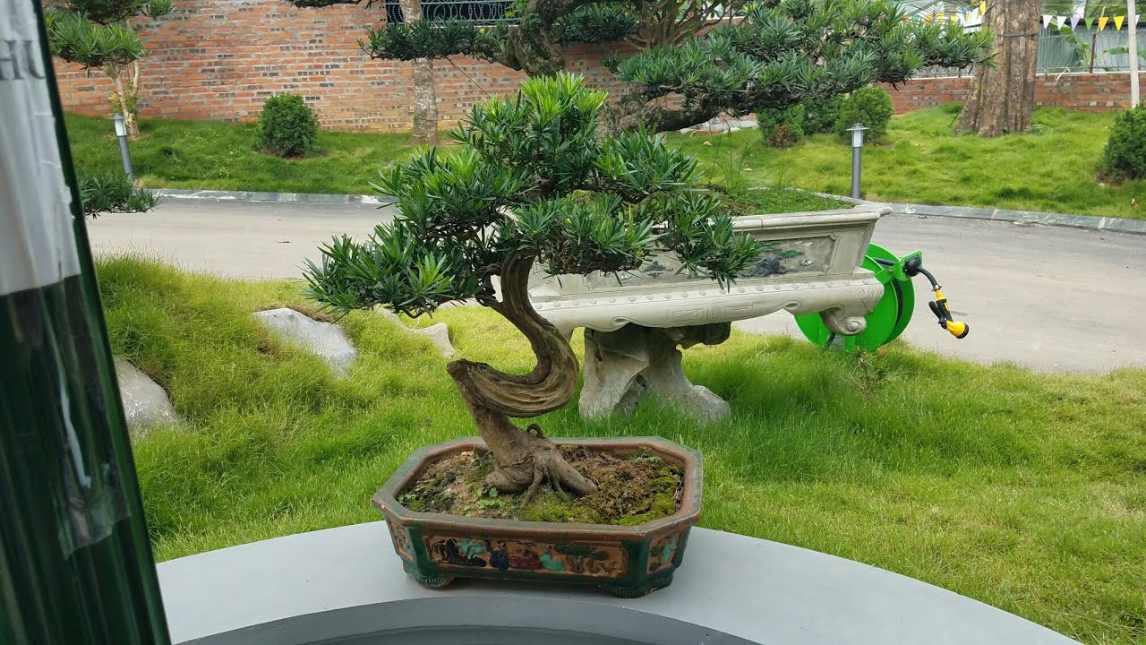 SH.2734.Gặp cây Tùng La Hán có nét giống chữ Tâm.vườn anh Dũng trọc tp.Việt Trì. Phú thọ.