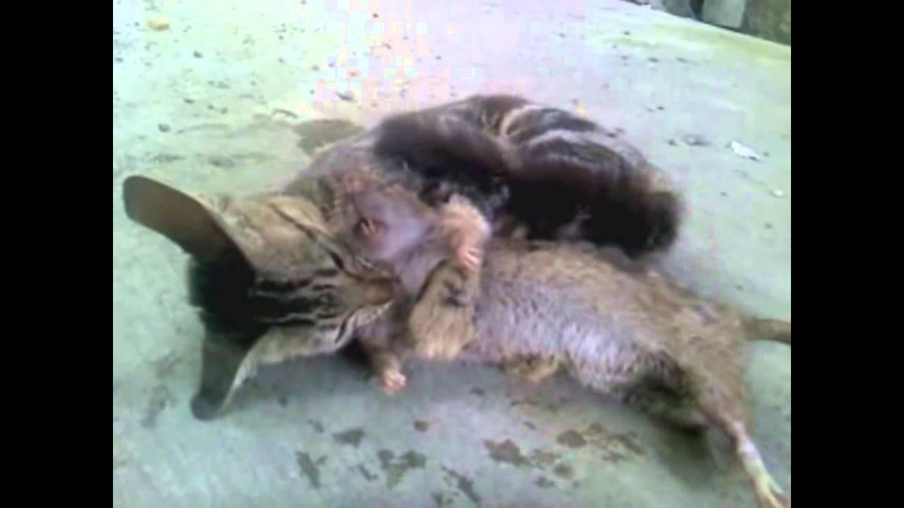 Mèo đánh nhau với chuột khổng lồ
