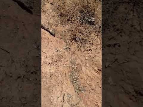 Incrível bezerro de duas cabeças em piabanha Aracatu Bahia Brasil 27/10/2017