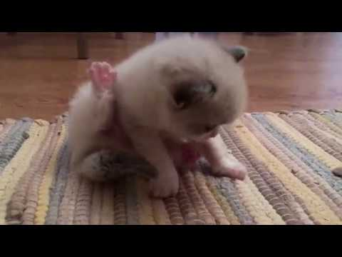 Playing Kittens. Ragdoll - Rare Cat Breed.