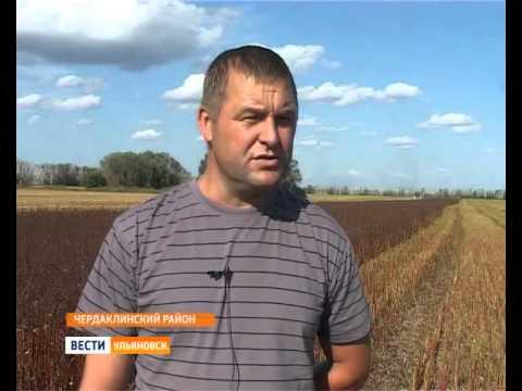 Уборка гречихи  Чердаклинский район  ГТРК Волга Вести Ульяновск