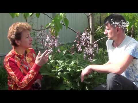 Многолетние садовые цветы Ясенец или неопалимая купина