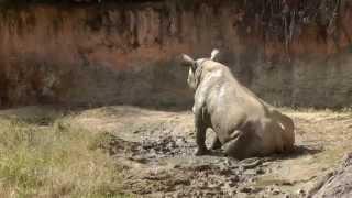 サミア(Samia)の小走り&泥んこ遊び   天王寺動物園のクロサイ