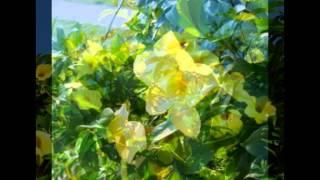 Алламанда — род цветковых растений семейства Кутровые(Алламанда (Allamanda) — вечнозеленые кустарники и лианы ... Алламанда — экзотическое и очень редкое цветущее..., 2015-09-04T15:54:14.000Z)