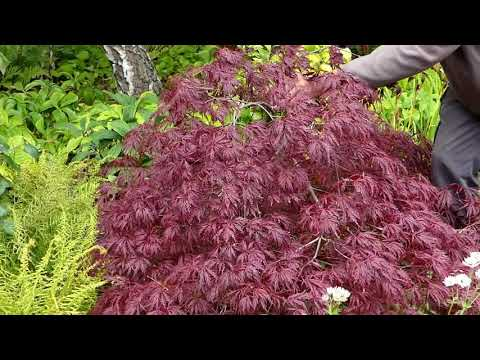 About Japanese Maples