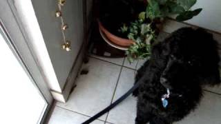 Standard Poodle Puppy rings his potty bells