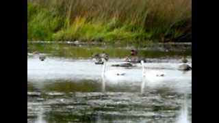 Synchronized Swimming (Trumpeter Swans at Turnbull Wildlife Refuge)