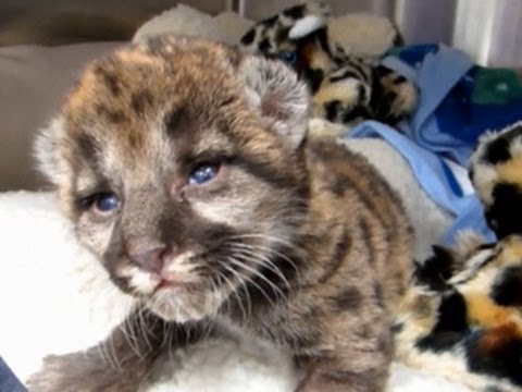 Thumbnail for Cat Video Panther cub gets a new lease on life