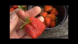 Early Harvest for Strawberries and Lettuce