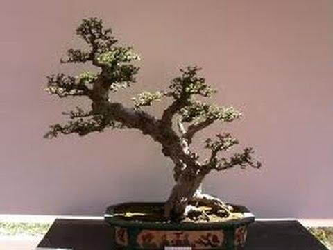 bonsai cherry tree youtube