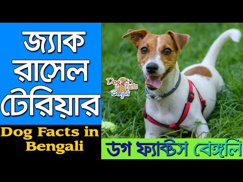 Jack Russell Terrier Dog facts in Bengali   Small Dog Breed   Dog Facts Bengali