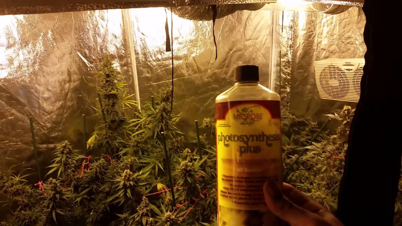& Indoor organic cannabis mmj grow tent - YouTube