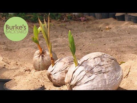 Burke's Backyard, Coconut Seedlings